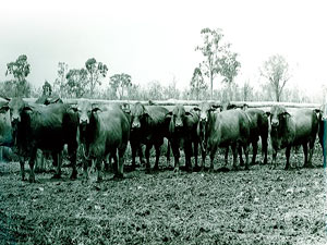 THE EARLY DAYS – FAIRY SPRINGS HERD BULLS EARLY 1970s