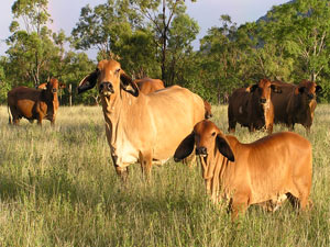 FAIRY SPRINGS RED BRAHMAN COWS